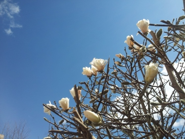 My favorite tulip tree blooms now.
